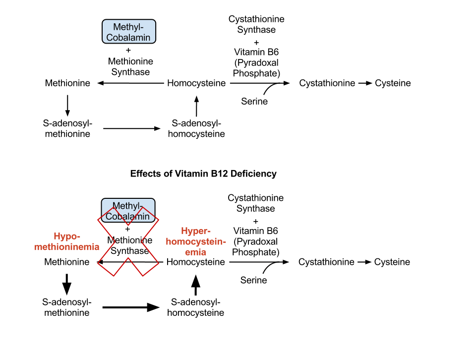 Vitamin B12 and methionine synthesis