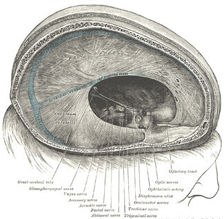 Depiction of the dura mater