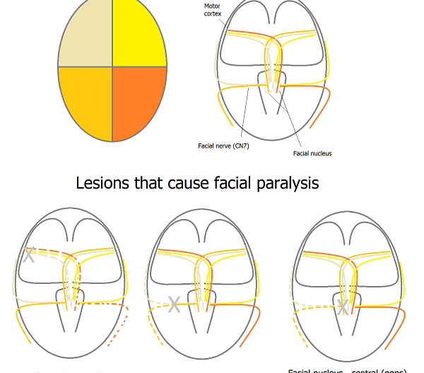 Central and peripheral facial nerve pathway